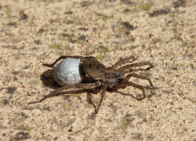 Spider carrying Egg